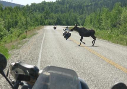 Most motorcycle riders to Alaska foolishly believe bears will be their biggest worry. Actually moose kill far more people each year than bears.